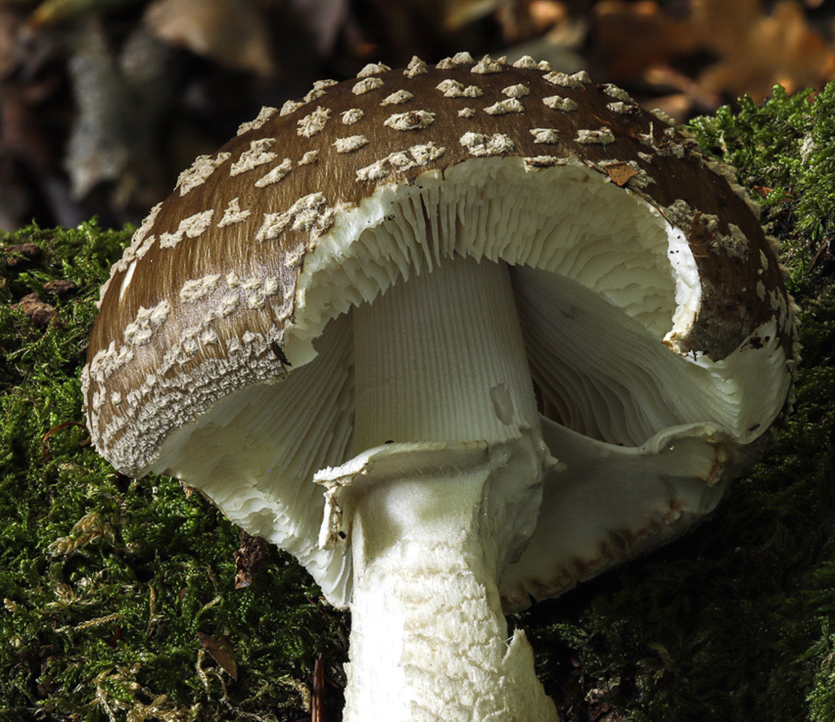 Amanita excelsa  by Paul Goby