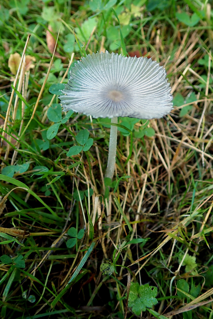 Coprinopsis lagopus  by Penny Cullington