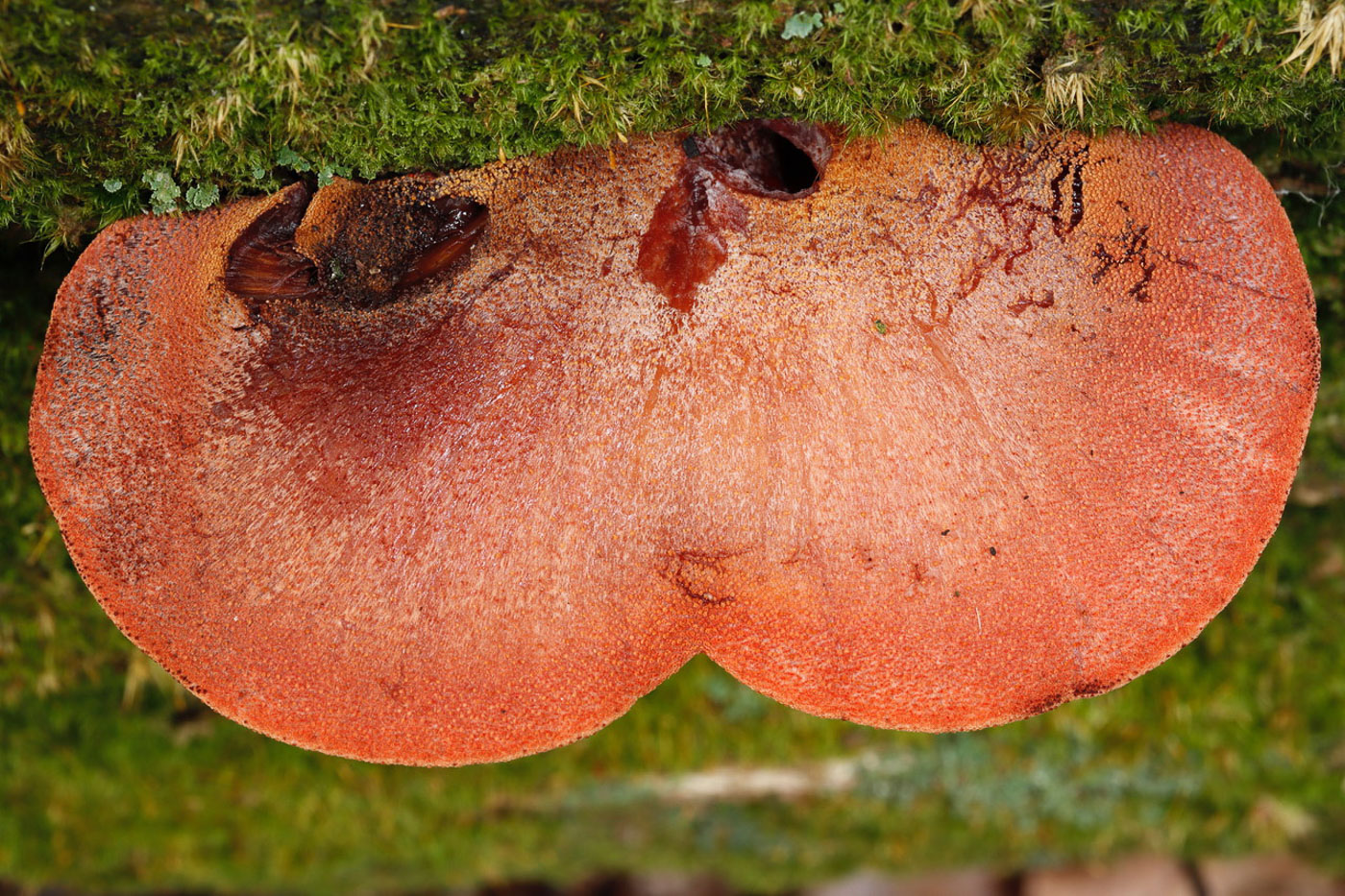 Fistulina hepatica  by Paul Goby