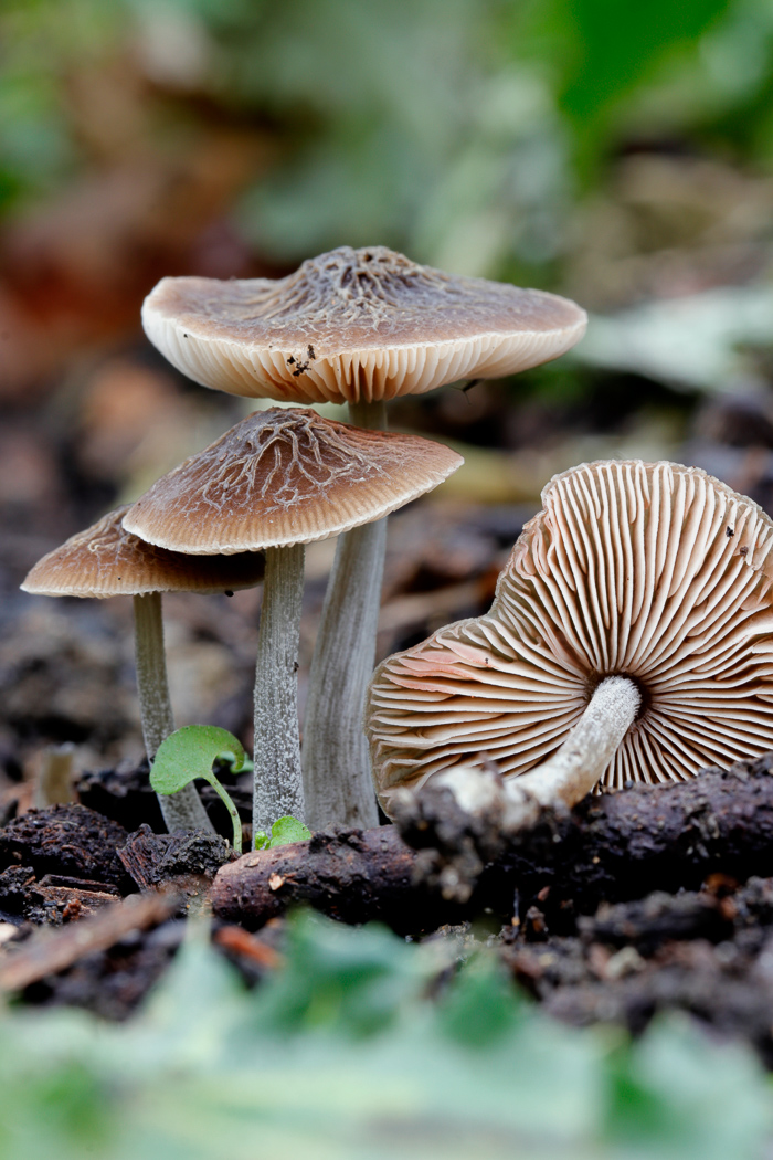 Pluteus thomsonii by Justin Long