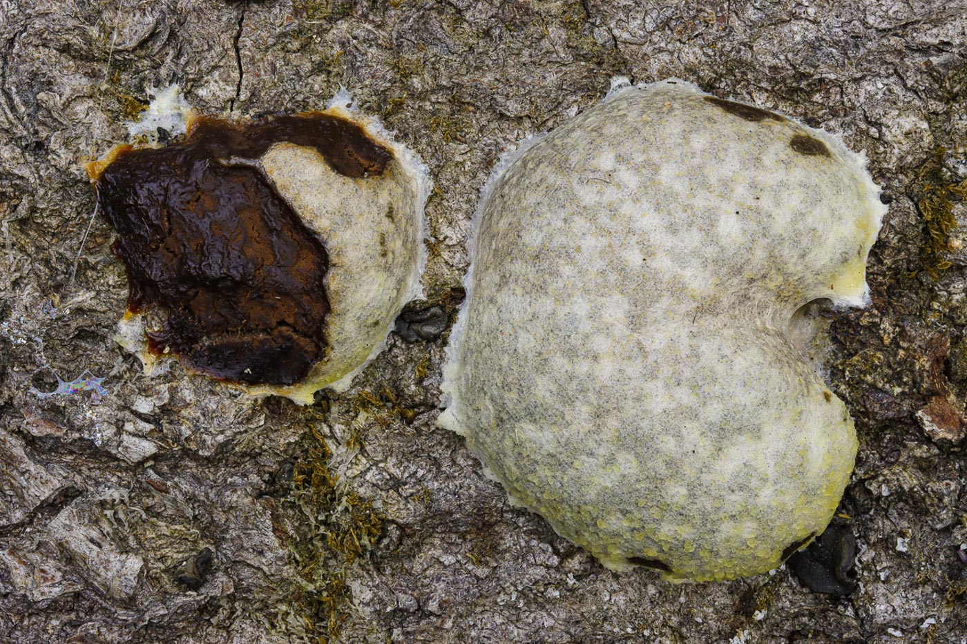Reticularia lycoperdon  by Paul Goby
