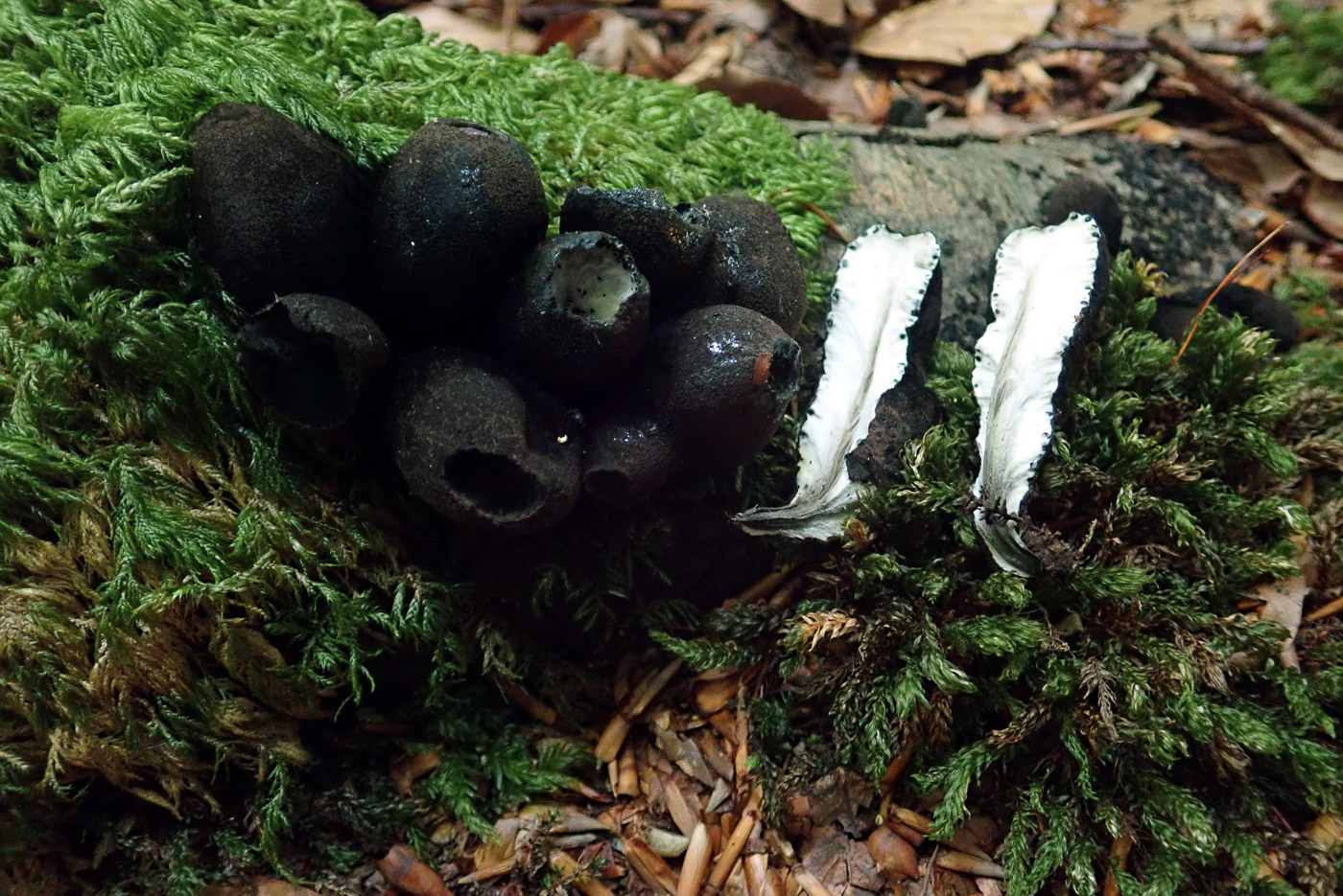 Xylaria polymorpha  by Penny Cullington